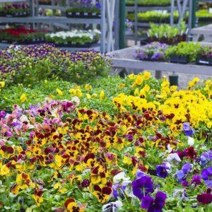 Annuals - Flowering