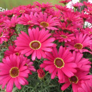 Argyranthemum hybrid Grandaisy Dark Pink