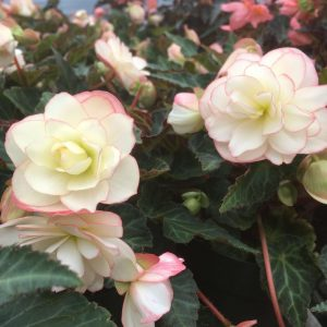 Begonia I'Cona Miss Montreal