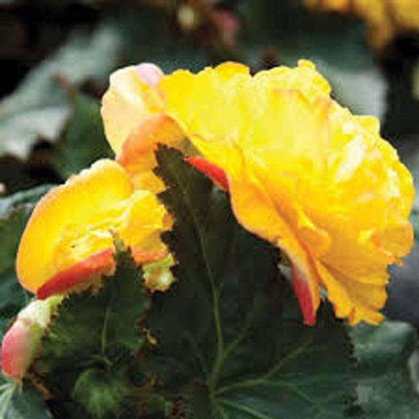 Begonia Nonstop Yellow/Red