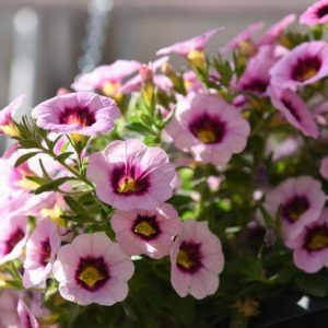 Calibrachoa | Superbells | Littletunias