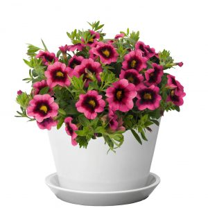 Calibrachoa Lindura Loops Hula Hot Pink