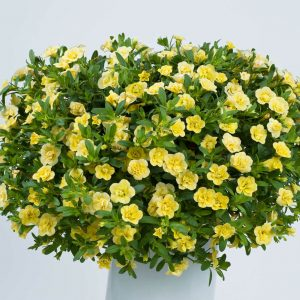 Calibrachoa Noa Double Pineapple