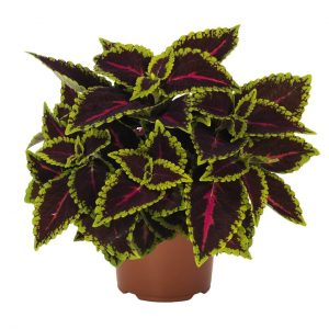 Coleus Main Street Alligator Alley