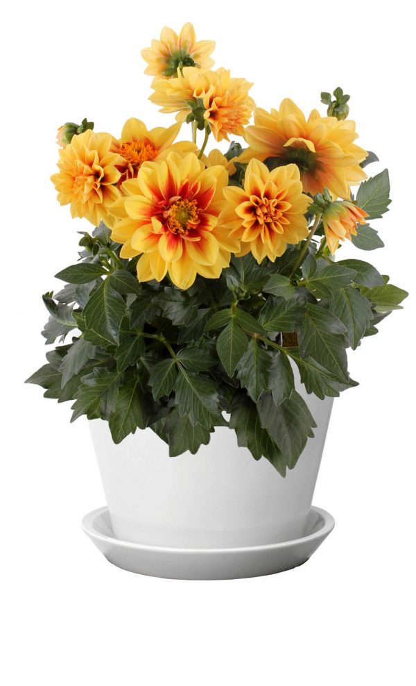 Dahlia LaBella Medio Fun Golden Eye