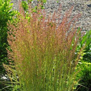 Grasses