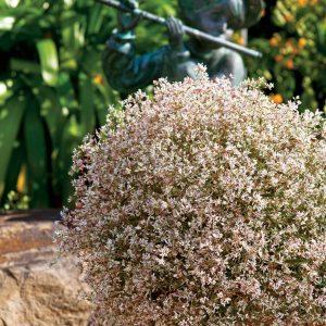 Euphorbia Starblast Pink
