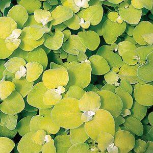 Helichrysum Limelight