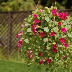 Lophospermum Lofos Compact Rose