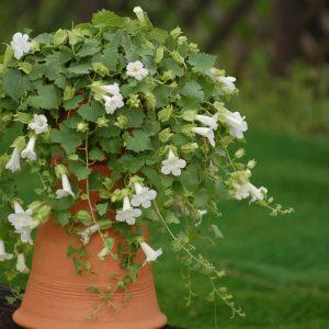 Lophospermum Lofos Compact White