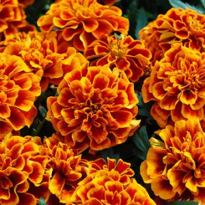 Marigold French Chica Flame
