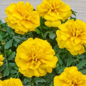 Marigold French Chica Yellow