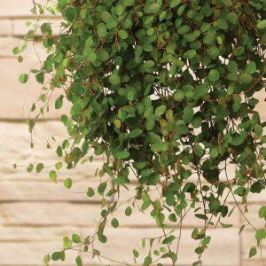Annuals - Foliage
