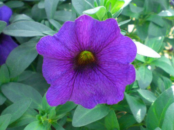 Petchoa Supercal Blue