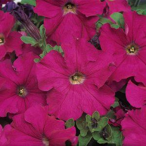 Petunia Dreams Neon Rose