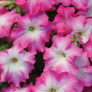 Petunia Dreams Rose Morn