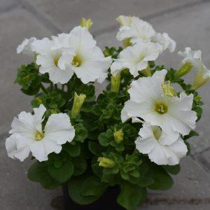 Petunia Dreams White