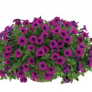 Petunia Littletunia Shiraz