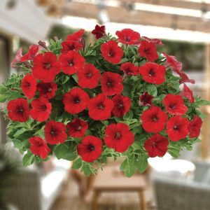 Petunia-Mini Littletunia Bright Red