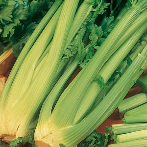 celery giant pascal