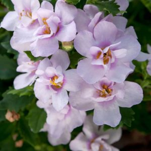 Bacopa Double Pink