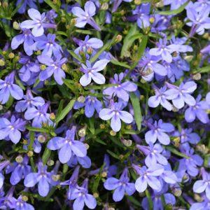 Lobelia Hot Water Blue