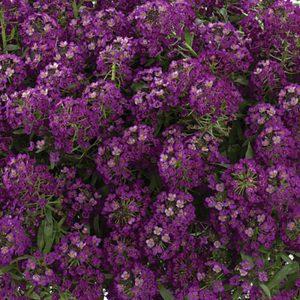 Lobularia Stream Purple