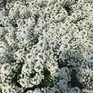Lobularia Stream White