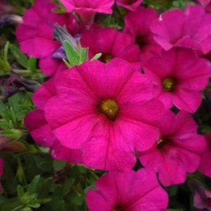 Petchoa Supercal Violet