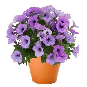 Petunia Sweetunia Lavender Shimmer