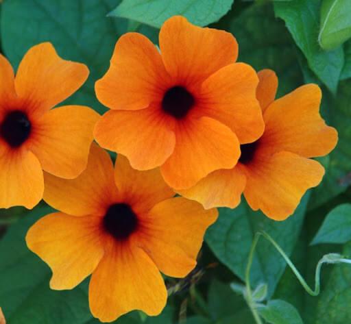 Thunbergia Sunny Susy Red Orange