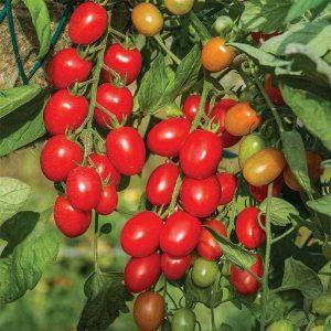 Tomato Fantastico