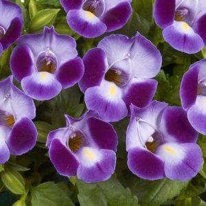 Torenia Moon Purple